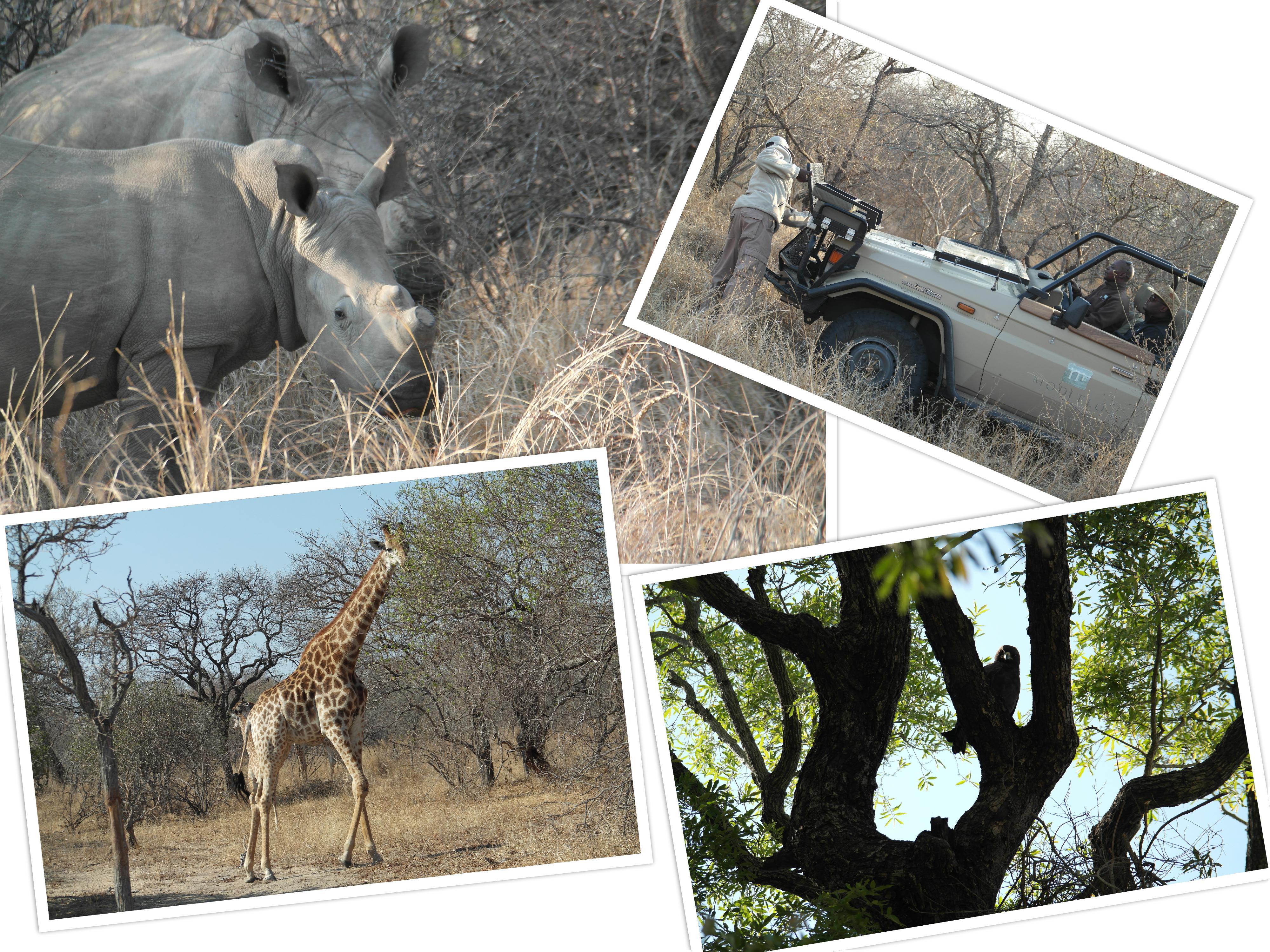Prachtig he! De hoorns van de neushoorn sneden zij overigens zelf af, zodat stropers er niets aan hebben.