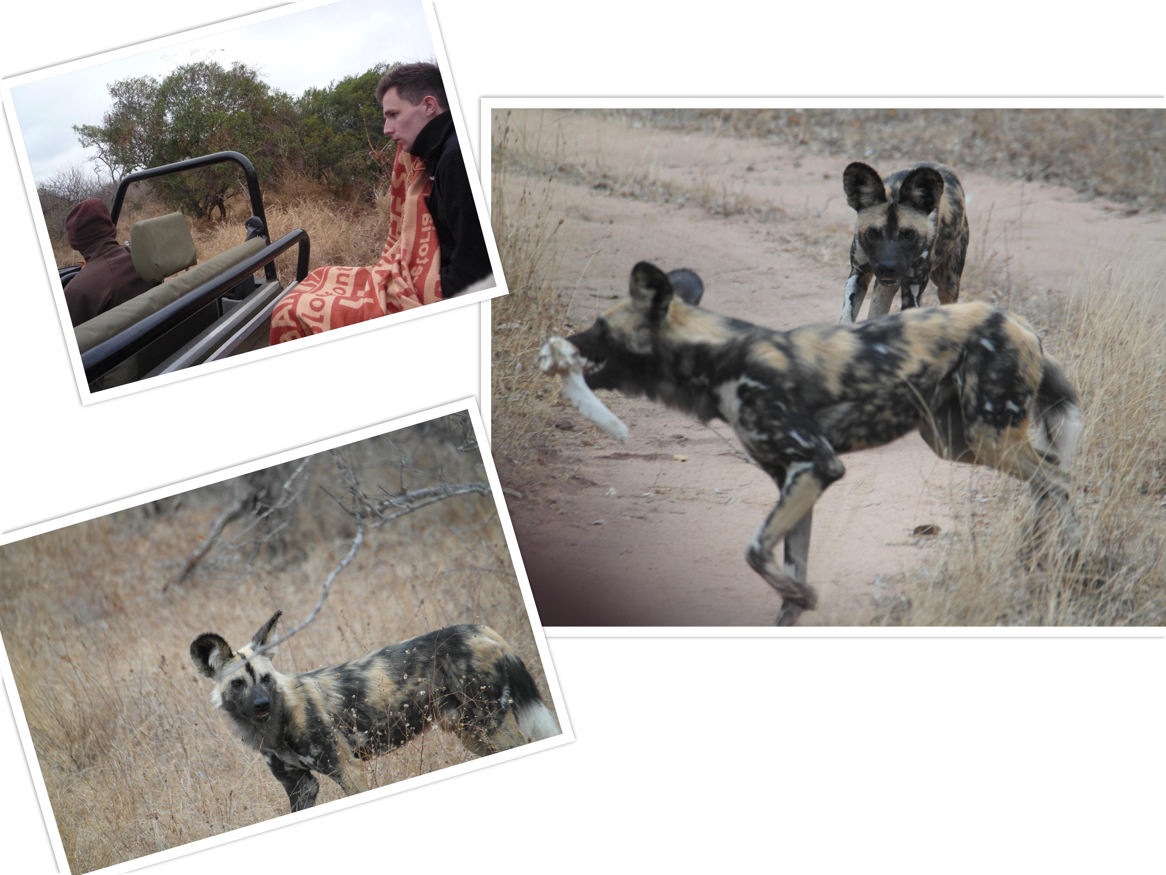 Wilde honden. Dat we de rit hebben overleefd is een wonder. De ranger reed heel hard om ze te zien, want hij had ze nog nooit gezien. Een andere wagen had ze gevonden en via portofoons praten ze met elkaar. Ze speelden met een bot en waren op jacht naar een everzwijn.