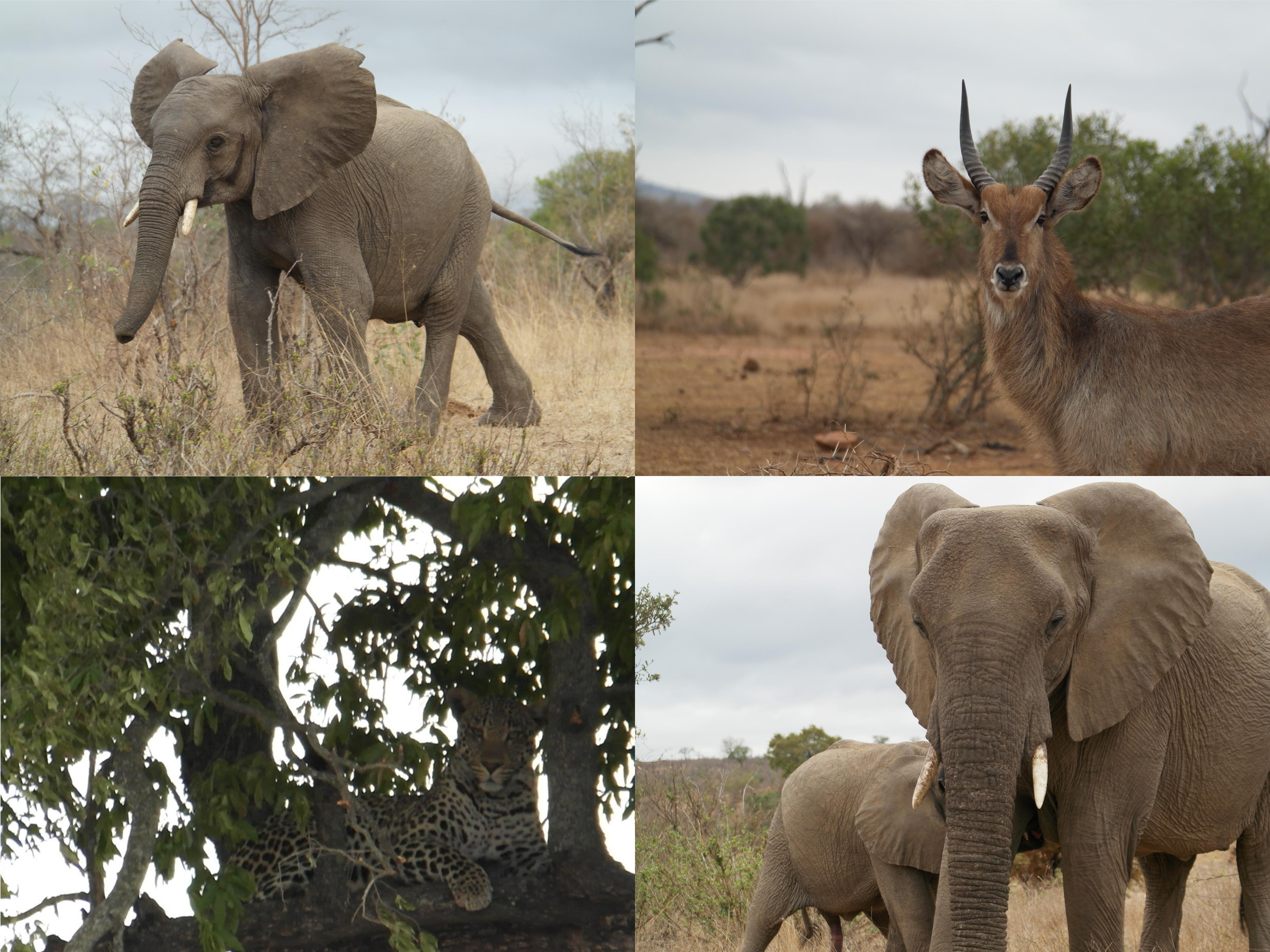 Als er een dier moeilijk te spotten is, dan is het de luipaard wel. Althans dat is wat je veel hoort. Wij hadden enorm veel geluk. Toen we aankwamen in het Krugerpark vroeg een man: Is dit jullie eerste keer hier? Dan moet je deze route pakken, gegarandeerd veel dieren. Wij hadden al enorm veel dieren gespot, maar de luipaard stond hoog op ons lijstje. Dat was het enige dier dat wij echt nog niet gezien hadden. We stonden bij een kruising en moesten kiezen. Links was het erg druk bij een boom, dus het kon niet anders dachten wij. En jawel, de luipaard. Het duurde even voor we een mooi plekje hadden, maar het was gelukt. Wauw wat een machtig mooi dier. En dat in 2,5 uur tijd, waarvan we er ruim een uur bij het luipaard hebben gestaan.